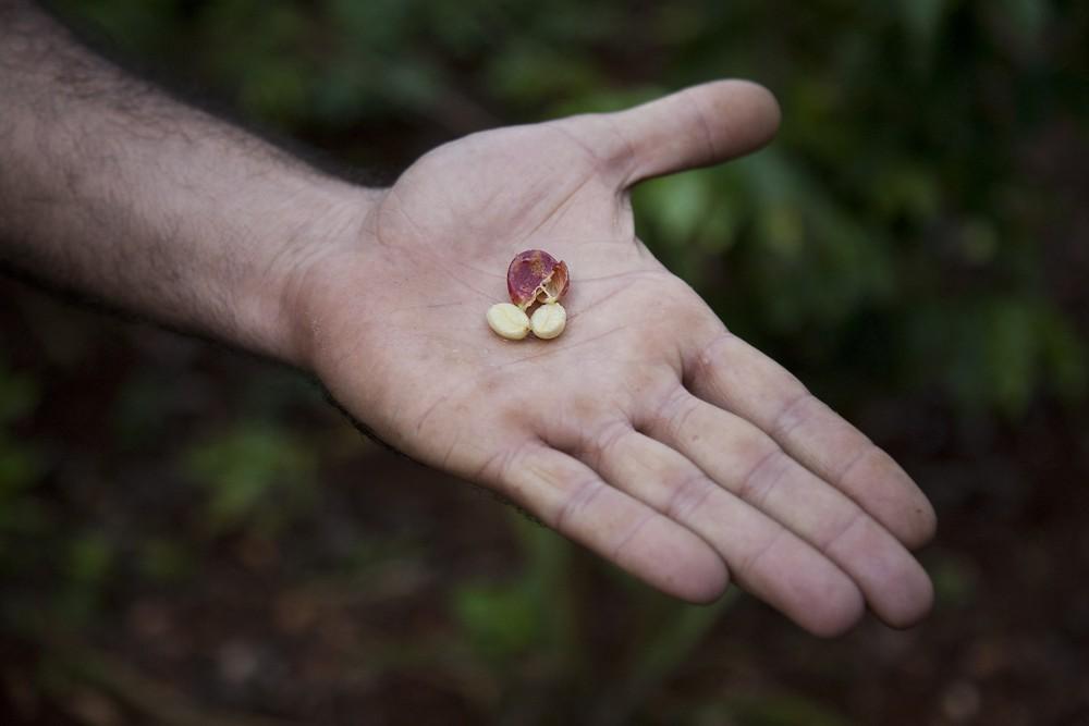 Die beiden Samen der Kaffeekirsche sind die uns bekannten Kaffeebohnen.