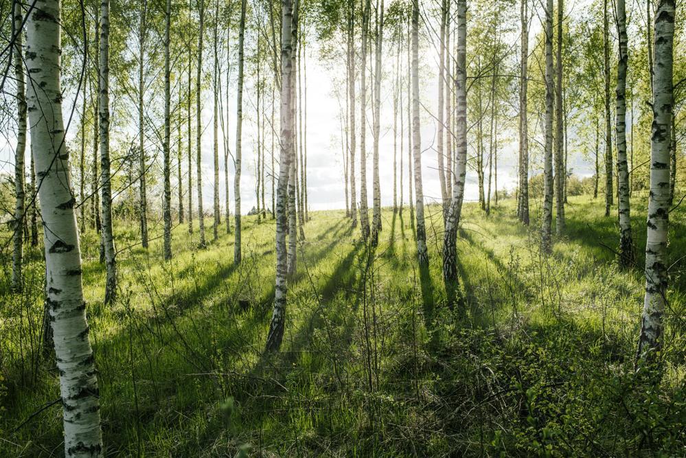 96 Prozent des von Kinnarps verwendeten Holzes stammt aus zertifiziertem Anbau. Abbildung: Björn Dahlgren